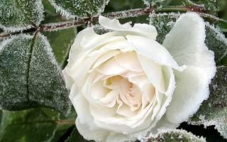 Розы — подготовка к зиме