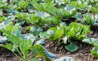 Календарь посадки: белокочанная капуста, цветная капуста, кольраби, брокколи