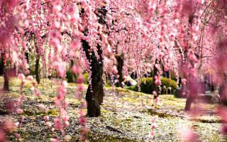 В Японии уже цветет сакура – 11 захватывающих фотографий