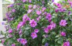 Гибискус садовый – краски дачного участка
