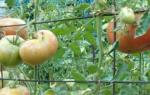 Правильная подвязка помидор – залог хорошего урожая