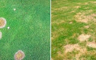 Усыхание газона: почему желтеет газон на участке и что нужно делать