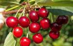 Урожайные сорта вишни для Подмосковья (фото и описания)