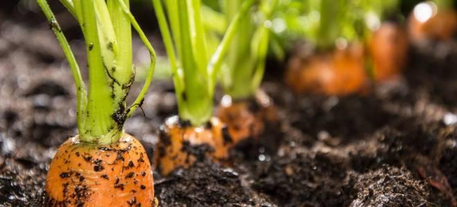 Какие овощи могут зимовать на грядке?