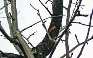 Что делать, если на деревьях появились черные пятна