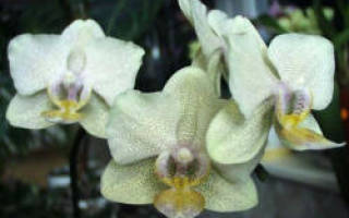Какую орхидею выбрать новичку