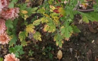 Почему на хризантеме почернели листья — 4 возможные причины