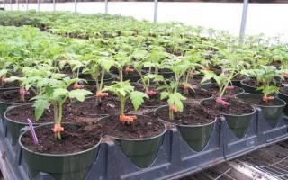 Прививка томатов, или Выращивание помидоров на 2 корнях