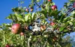 Как правильно привить яблоню осенью
