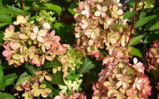 Встречайте новый сорт гортензии метельчатой – Пэстел Грин