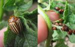 Народные средства от колорадского жука – обрабатываем огород без «химии»