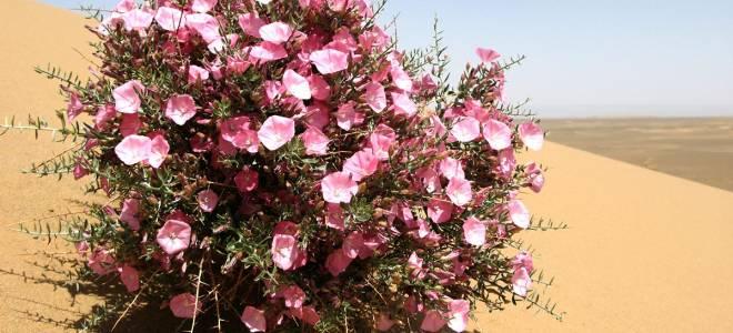10 роскошных цветов для песчаных почв