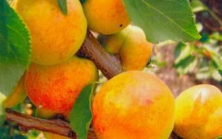 Лучшие самоплодные сорта абрикоса (фото, описание, советы по уходу)