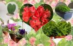 10 самых романтических комнатных растений ко дню Св. Валентина