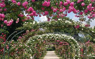 Что нужно знать при покупке саженцев роз зимой