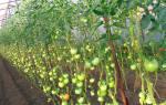 Какие томаты самые урожайные? Обзор лучших высокорослых сортов с фото