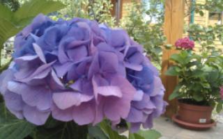 Ждем первых морозов! Когда укрывать на зиму розы, гортензии, клематисы и лаванду