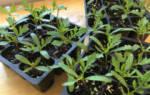 Инструкция: выращивание рассады бархатцев в домашних условиях