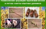 Как размножить форзицию черенками – пошаговая инструкция для новичков