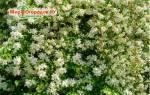 Как обрезать чубушник (садовый жасмин) после цветения