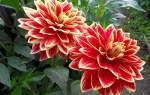 Почему не цветут георгины – 7 возможных причин