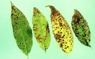 Коккомикоз – причины, симптомы и меры борьбы