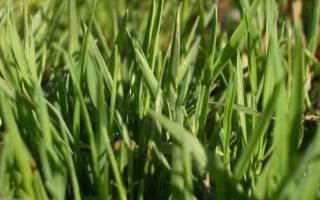 Полевица побегоносная – растение для красивого и мягкого газона