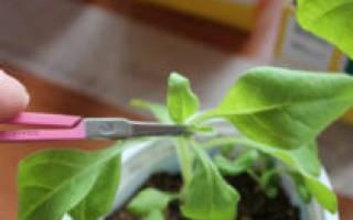 Зачем прищипывать петунию и лобелию и как это сделать правильно?