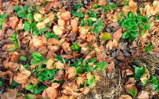 Секреты выращивания органической клубники