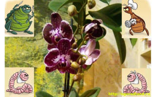 Вредители орхидей: каких врагов нужно знать в «лицо»