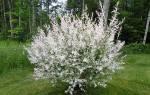 Как вырастить хакуро нишики – все об экзотической иве в вашем саду
