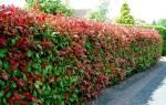10 растений для живой изгороди
