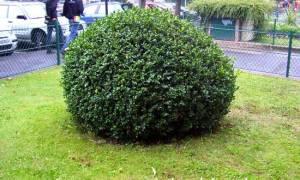 Чем заменить самшит – 5 вечнозеленых кустарников для красивого бордюра