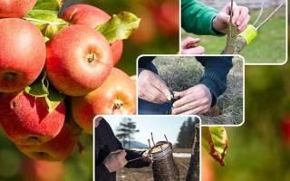 Прививки плодовых деревьев: правила и тонкости садовой «хирургии»