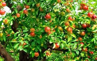 Как обрезать карликовую яблоню зимой – подробный мастер-класс с фото