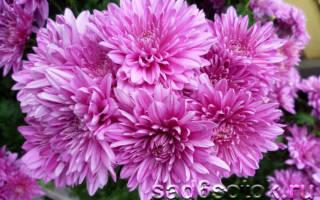 Хризантемы – как вырастить здоровое растение?