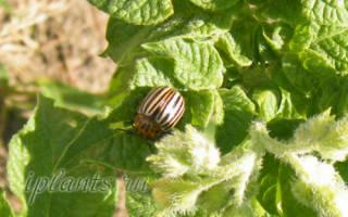 Как эффективно бороться с колорадским жуком и плодожоркой