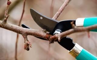 От саженца до взрослого дерева – все о весенней обрезке абрикосов