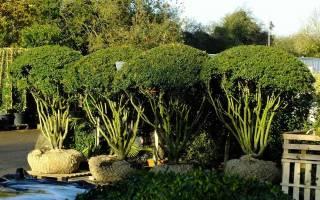Маленькое дерево или большой куст? Многоствольные растения в садовом дизайне