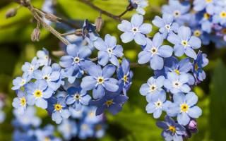 Незабудки в цветнике – правила посадки и выращивания