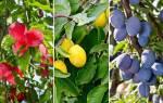 Разноцветные сливы – выбираем сорт на любой вкус
