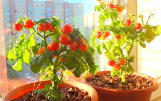 Выращивание томатов в квартире зимой – личный опыт с выводами и сортами