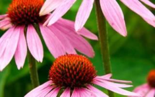 Эхинацея в саду: календарь ухода с февраля по октябрь