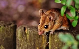 Милые зверушки? Весь вред мышей и крыс на даче и в доме