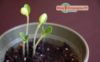 Секреты выращивания рассады кабачков