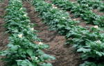 Как правильно окучивать растения на грядках – все «за» и «против»