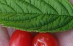 9 причин посадить войлочную вишню на своем участке