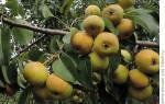 5 проверенных способов «заставить» грушу быстрее плодоносить