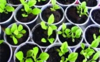 Выращивание астры из семян в домашних условиях – пошаговая инструкция