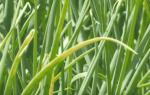 Почему желтеет лук на грядке и что нужно делать